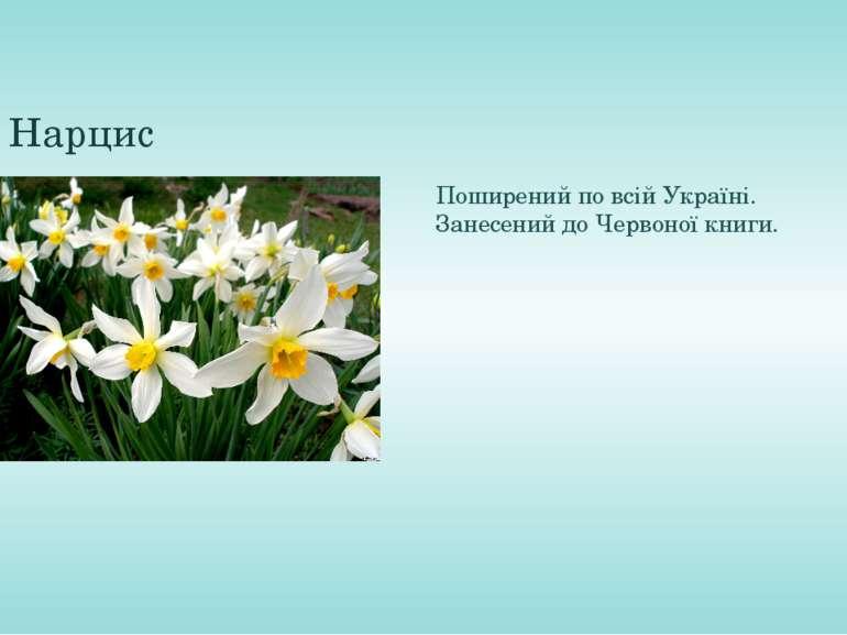 Нарцис Поширений по всій Україні. Занесений до Червоної книги.