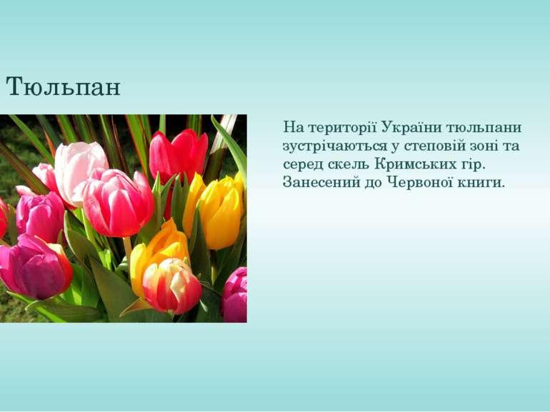 Тюльпан На території України тюльпани зустрічаються у степовій зоні та серед ...