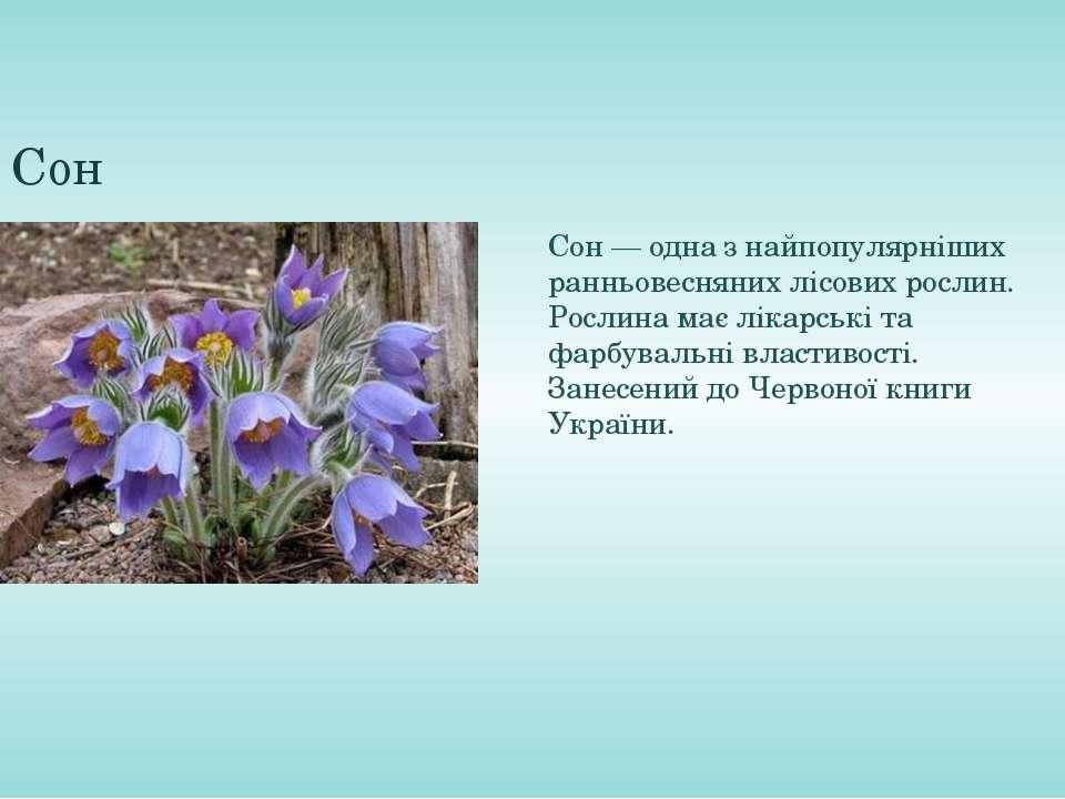 Сон Сон— одна з найпопулярніших ранньовеснянихлісових рослин. Рослина маєл...