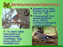 Довжина тіла сойок близько 34 см, маса тіла 147 - 196 г. В природі цей птах у...
