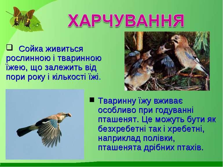 Сойка живиться рослинною і тваринною їжею, що залежить від пори року і кілько...