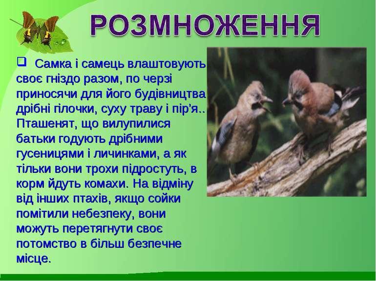 Самка і самець влаштовують своє гніздо разом, по черзі приносячи для його буд...