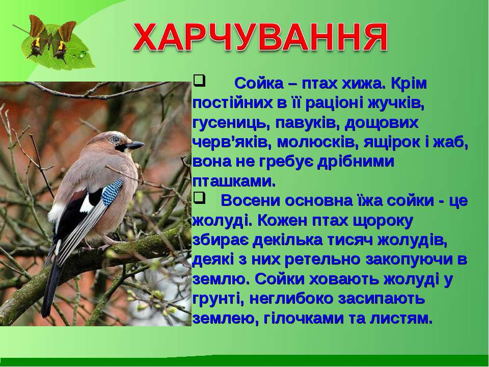 Сойка – птах хижа. Крім постійних в її раціоні жучків, гусениць, павуків, дощ...