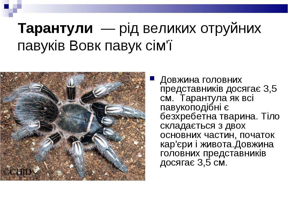 Тарантули — рід великих отруйних павуків Вовк павук сім'ї Довжина головних п...