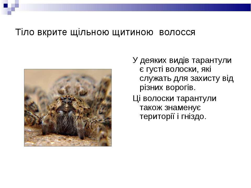 Тіло вкрите щільною щитиною волосся У деяких видів тарантули є густі волоски,...