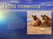 Гієна плямиста Довжина:1,3м. Хвіст:25см. Маса:62-70кг. Статус:Рідкісний. Гієн...
