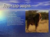 Лев-цар звірів. Довжина:1,7-2,5м. Хвіст:0,9-1,1м. Маса:150-250кг. Статус:Враз...