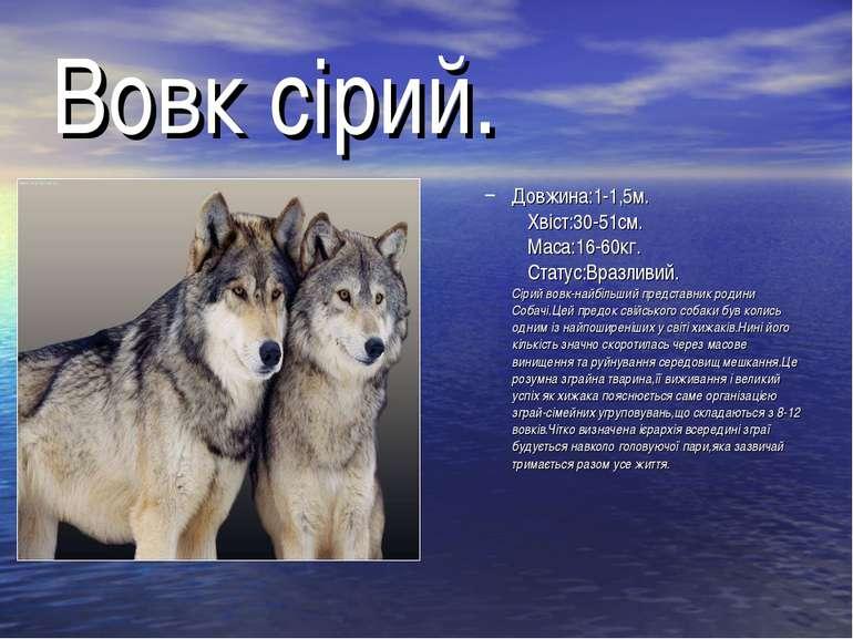 Вовк сірий. Довжина:1-1,5м. Хвіст:30-51см. Маса:16-60кг. Статус:Вразливий. Сі...