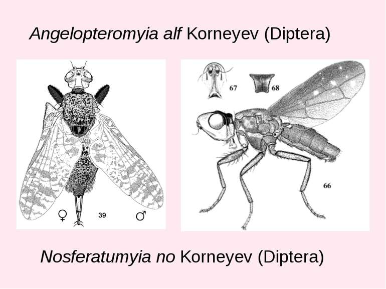 Angelopteromyia alf Korneyev (Diptera) Nosferatumyia no Korneyev (Diptera)