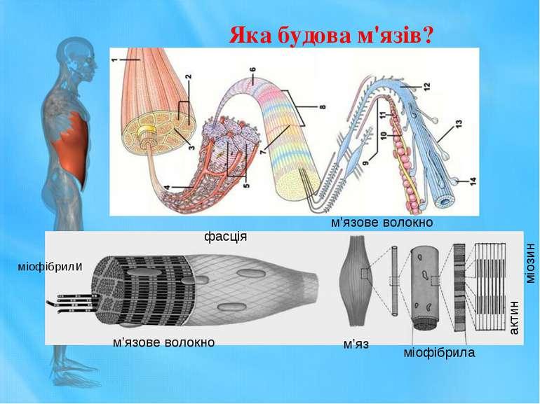 міофібрили фасція м'язове волокно м'яз м'язове волокно міофібрила міозин акти...