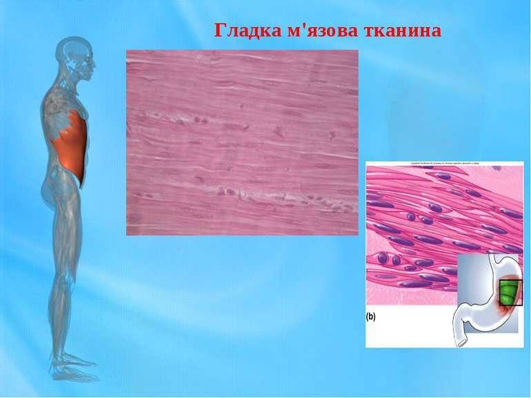Гладка м'язова тканина
