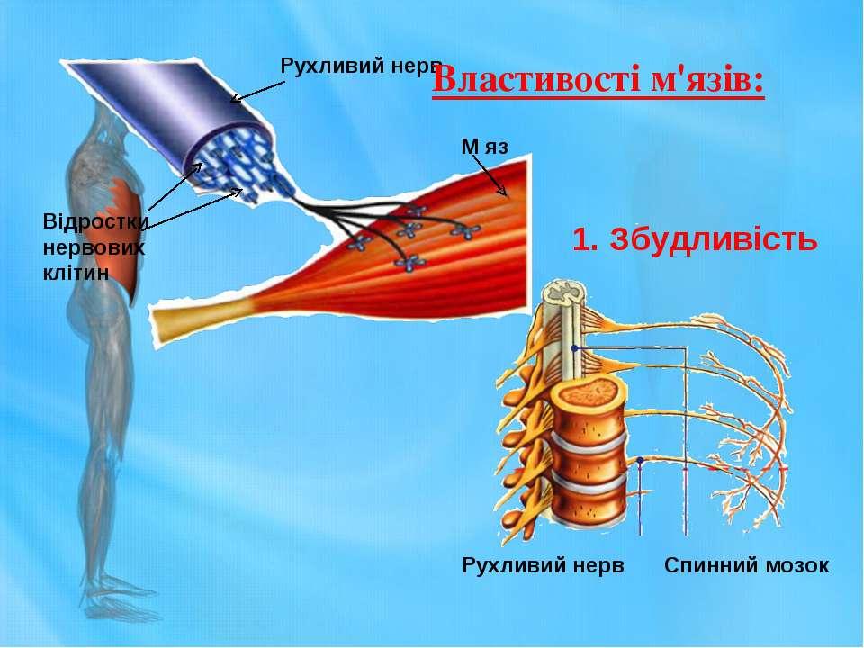 Рухливий нерв М яз Відростки нервових клітин Рухливий нерв Спинний мозок 1. З...