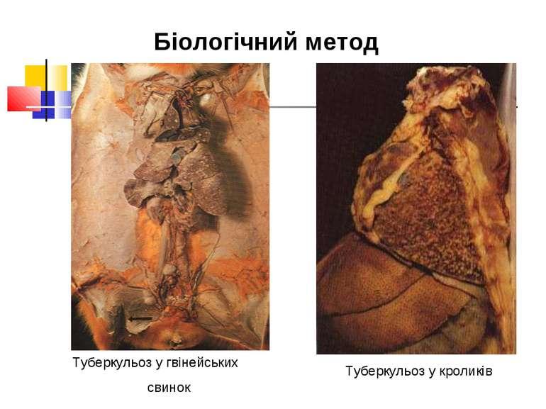 Туберкульоз у гвінейських свинок Туберкульоз у кроликів Біологічний метод