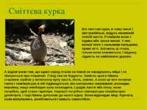Сміттєва курка Всі сміттєві кури, в тому числі і австралійські, ведуть наземн...