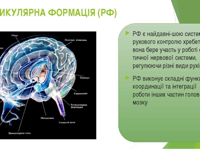 РЕТИКУЛЯРНА ФОРМАЦІЯ (РФ) РФ є найдавні шою системою рухового контролю хребет...