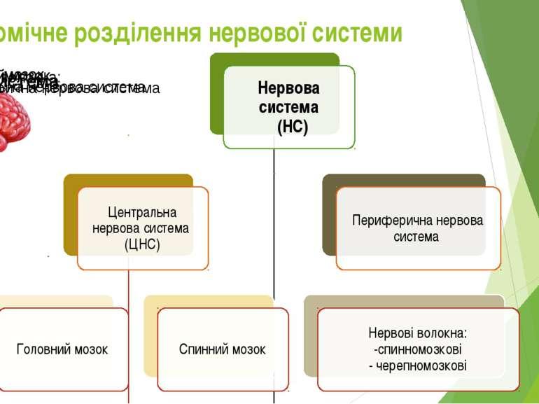 Анатомічне розділення нервової системи