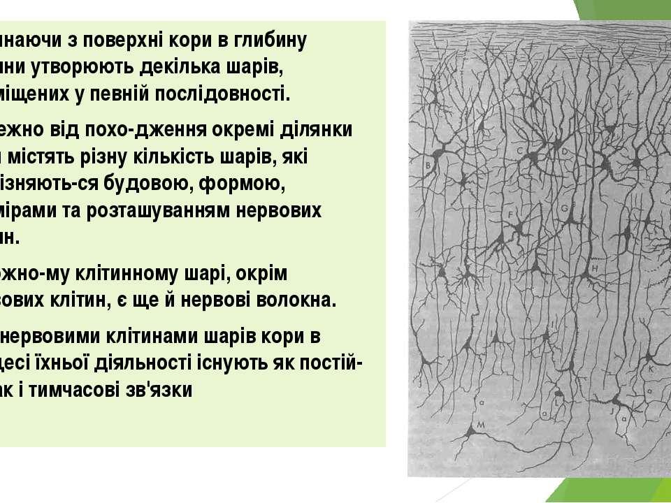 Починаючи з поверхні кори в глибину клітини утворюють декілька шарів, розміще...
