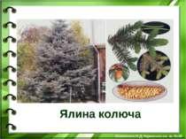 Ялина колюча Білоножко Н.Д.Черкаська сп. ш. №18