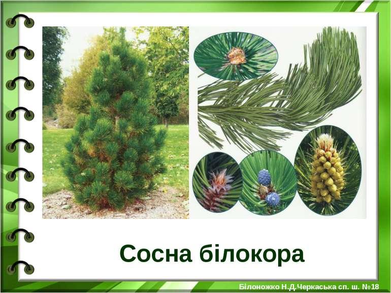 Сосна білокора Білоножко Н.Д.Черкаська сп. ш. №18