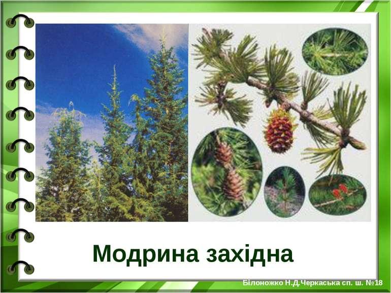 Модрина західна Білоножко Н.Д.Черкаська сп. ш. №18