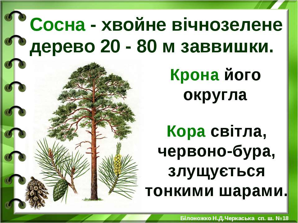 Сосна - хвойне вічнозелене дерево 20 - 80 м заввишки. Крона його округла Кора...