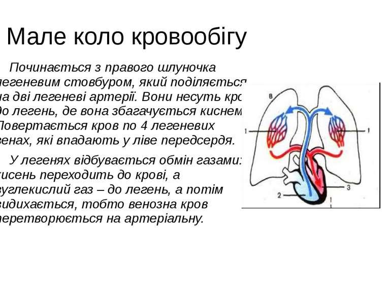 Мале коло кровообігу Починається з правого шлуночка легеневим стовбуром, який...
