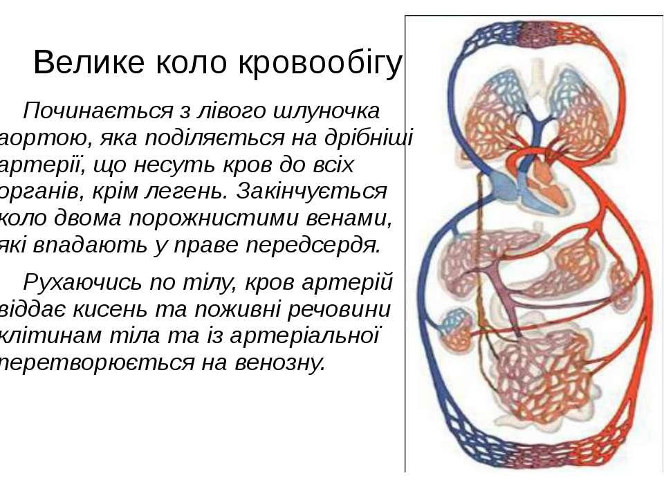 Велике коло кровообігу Починається з лівого шлуночка аортою, яка поділяється ...