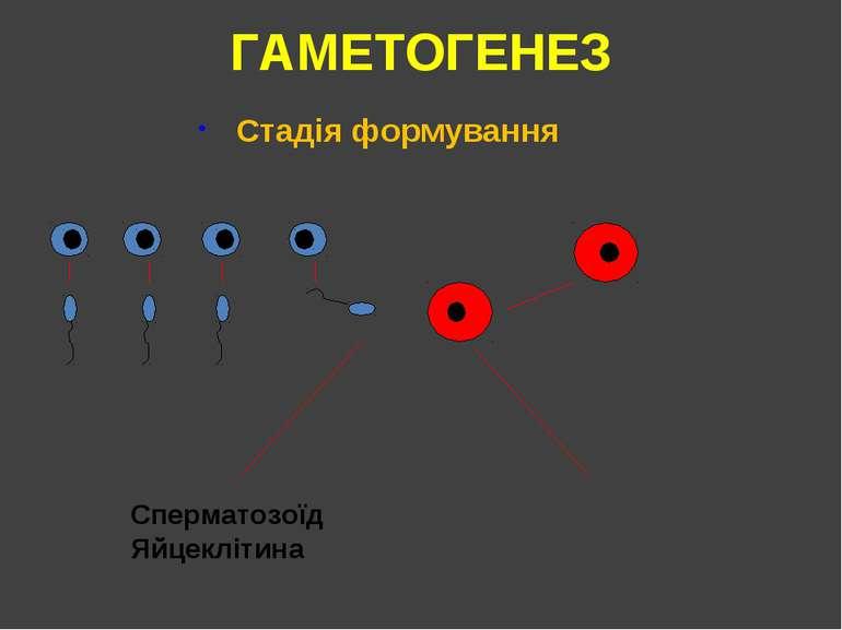 ГАМЕТОГЕНЕЗ Стадія формування Сперматозоїд Яйцеклітина