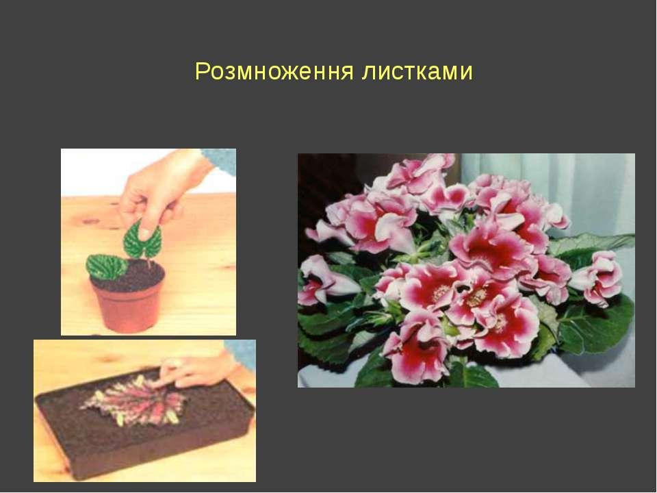 Розмноження листками