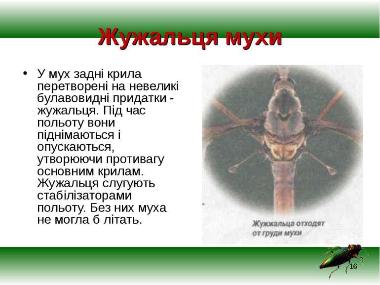 Жужальця мухи У мух задні крила перетворені на невеликі булавовидні придатки ...