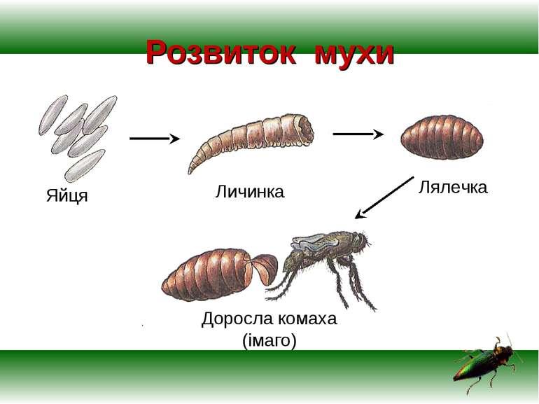 Розвиток мухи Яйця Личинка Лялечка Доросла комаха (імаго)