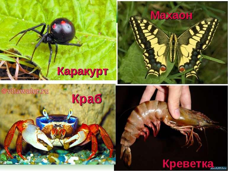 Каракурт Креветка Махаон Краб