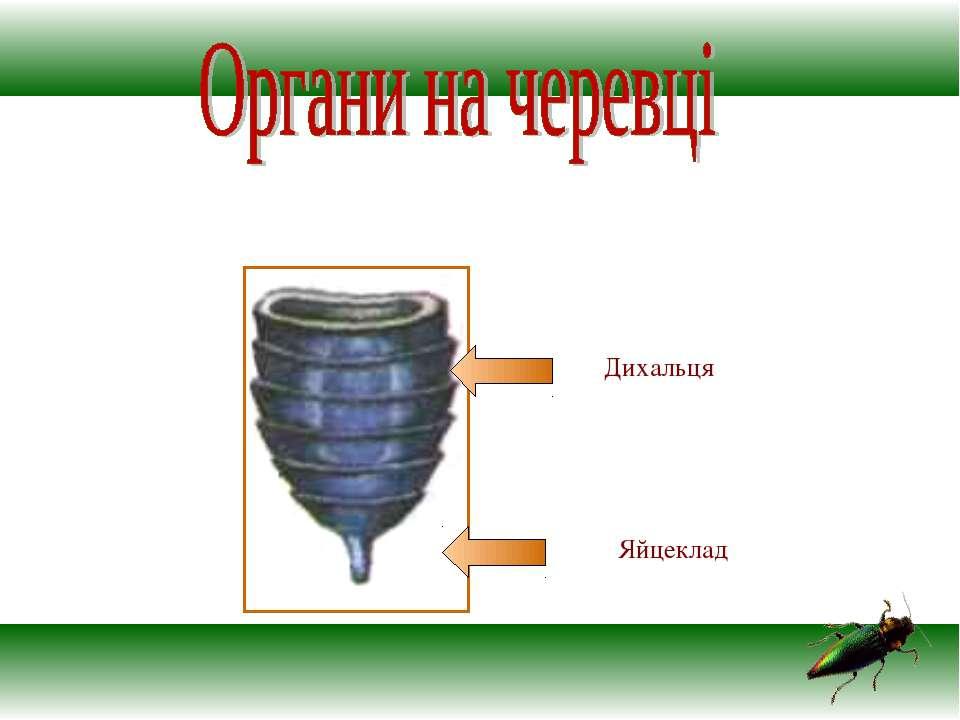 Яйцеклад Дихальця