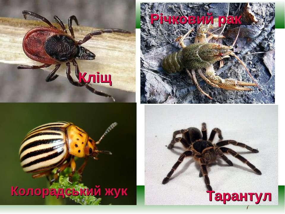 Кліщ Тарантул Річковий рак Колорадський жук