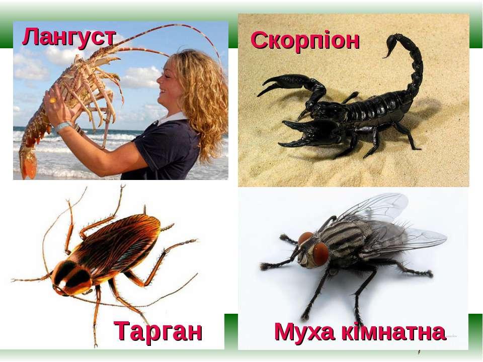 Лангуст Муха кімнатна Тарган Скорпіон