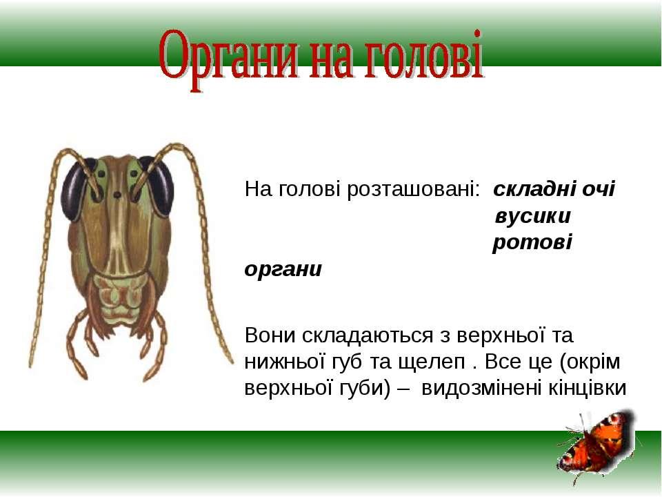 На голові розташовані: складні очі вусики ротові органи Вони складаються з ве...
