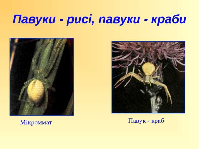 Павук - краб Мікроммат Павуки - рисі, павуки - краби