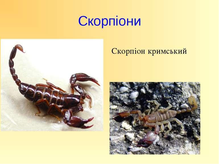 Скорпіони Скорпіон кримський
