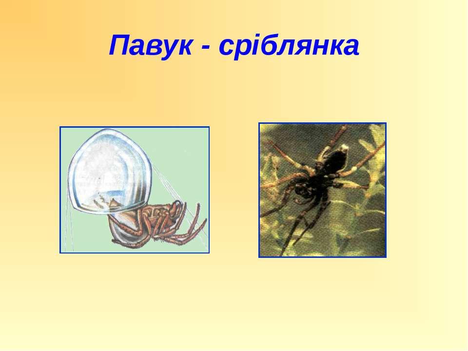 Павук - сріблянка