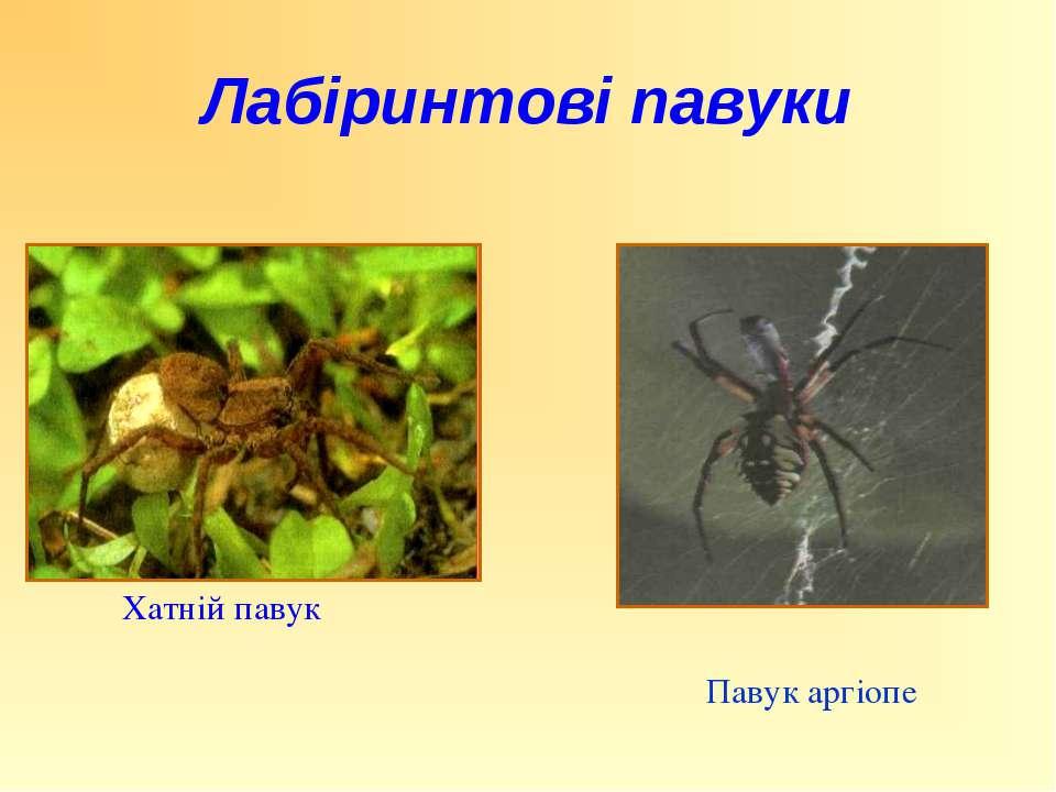 Хатній павук Павук аргіопе Лабіринтові павуки