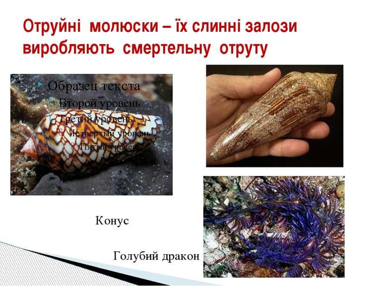Отруйні молюски – їх слинні залози виробляють смертельну отруту Конус Голубий...