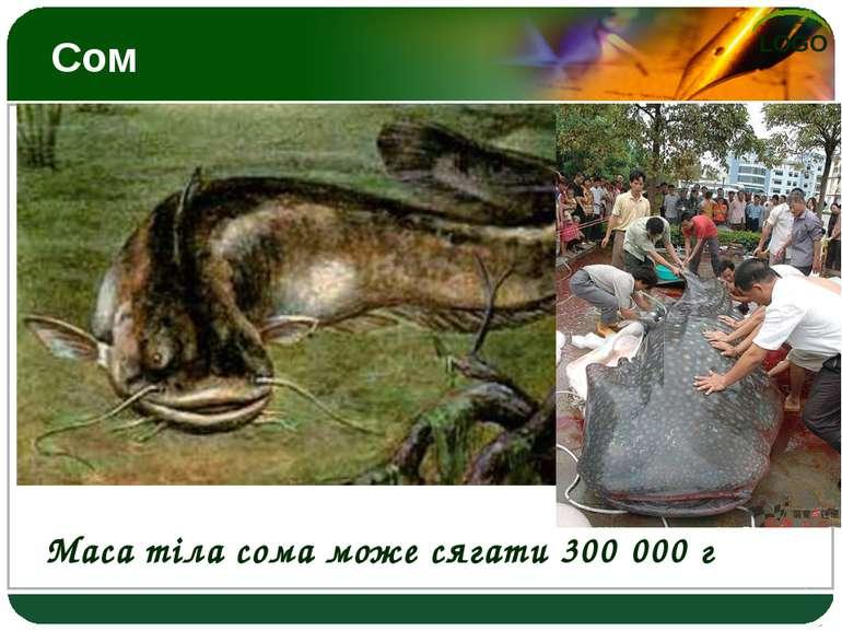 Сом Маса тіла сома може сягати 300 000 г LOGO
