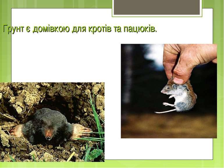 Грунт є домівкою для кротів та пацюків.