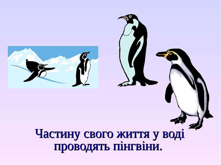 Частину свого життя у воді проводять пінгвіни.