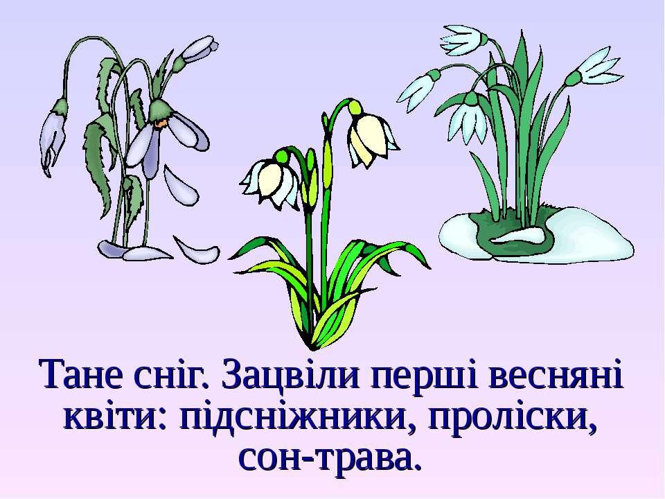 Тане сніг. Зацвіли перші весняні квіти: підсніжники, проліски, сон-трава.