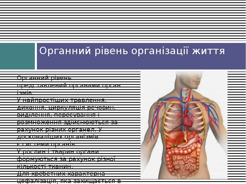 Органний рівень організації життя Органний рівень представленийорганамиорга...