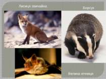 Лисиця звичайна Борсук Велика нічниця