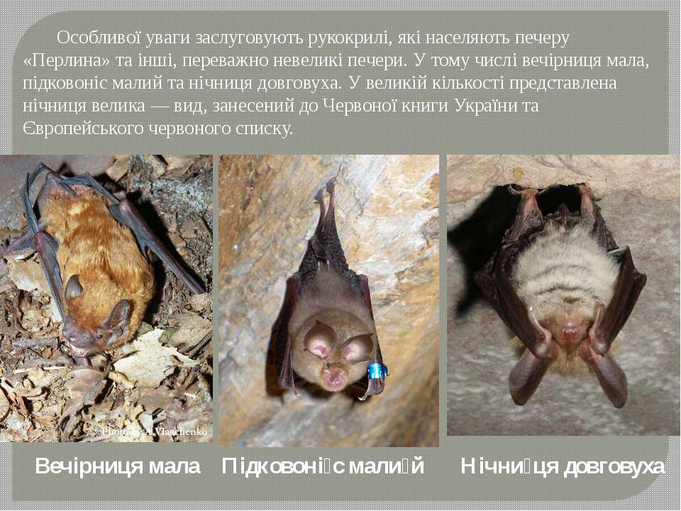 Особливої уваги заслуговують рукокрилі, які населяють печеру «Перлина» та інш...