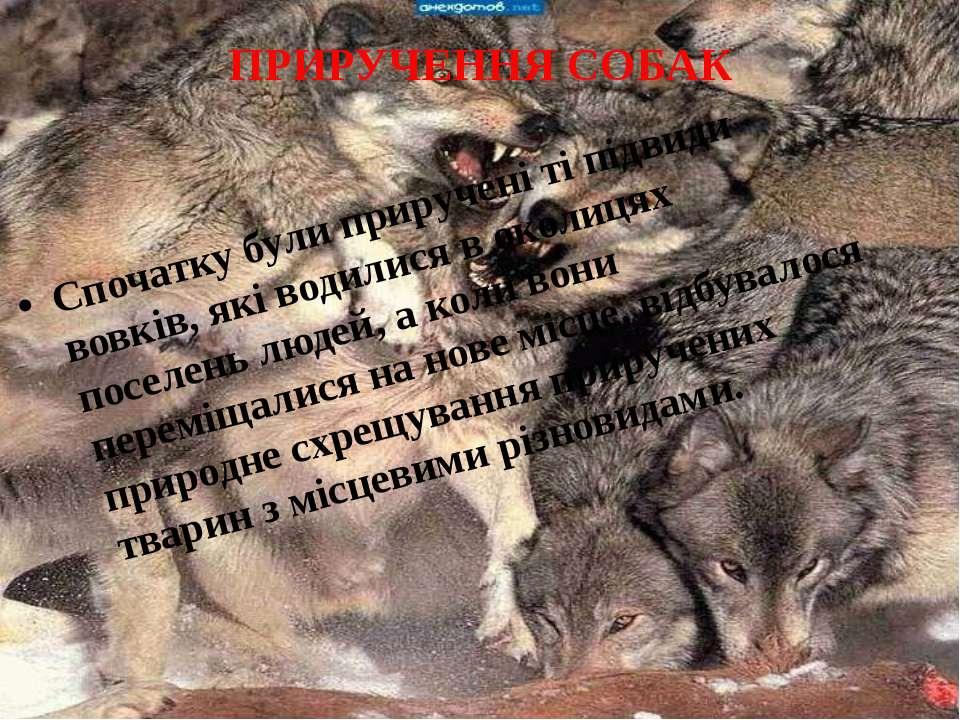 ПРИРУЧЕННЯ СОБАК Спочатку були приручені ті підвиди вовків, які водилися в ок...