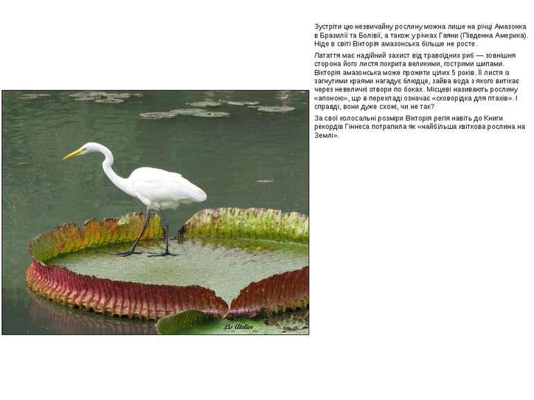 Зустріти цю незвичайну рослину можна лише на річці Амазонка в Бразилії та Бол...